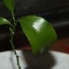 Як виростити лимон з кісточки?