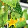 Як виростити огірки на підвіконні