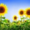 Як виростити соняшник в саду