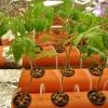 Як виростити помідори на гідропоніці?