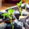 Як виростити розсаду спаржевої квасолі?