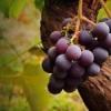 Як правильно вкрити виноград на зиму