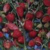 Як виростити суницю з насіння?
