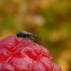 Як захистити полуницю від шкідників