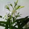 Як змусити цвісти олеандр? Квітці 2 роки, ні разу не цвів. Варто прітенённий на південному вікні