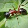Як живуть червоні мурахи?