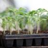 Яка потрібна грунт для розсади томатів і перців? Вибір ємностей, терміни посадки і обробка насіння перед висіванням, як доглядати за сходами