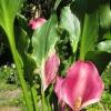 Вирощування калл в саду: які труднощі, секрети, зберігання взимку - діліться досвідом