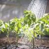 Які народні засоби використовують для підгодівлі розсада перцю і томата?