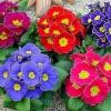 Підкажіть, що краще подарувати мамі на 8 березня гіацинт, герберу, прімулу.заранее спасибі!