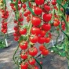 Які сорти томатів підійдуть для домашнього вирощування?
