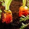Які добрива краще використовувати для моркви