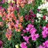 Які види квітів можна садити в червні?