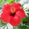 Чи не цвіте глоксинія