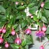 Як виростити квітку канна