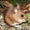 Яку небезпеку для людини представляє лісова миша?
