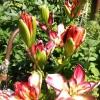 Чи правда що рослина диффенбахія не можна тримати в квартирах, так як воно токсично і впливає на