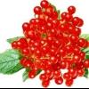 Калина червона: корисні властивості та протипоказання