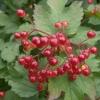 Калина та її лікувальні властивості, заготівля плодів і кори
