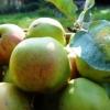 Карликова садівництво в ленінградській області, клонові карликові підщепи та їх вплив на характер крони і якість плодоношення