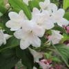Каталог продаваних рослин - садові рослини - чагарники