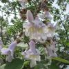 Каталог продаваних рослин - садові рослини - дерева