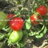 Каталог продаваних рослин - насіння - насіння томатів