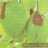 Казарка - шкідник плодових культур, способи боротьби з шкідником