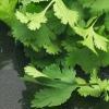 Кінза: особливості висаджування і вирощування в теплиці взимку