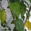 Китайська троянда (гібіскус) скидає листя, як дерева восени, що в таких випадках робити?