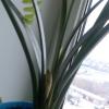 Кливия. За та проти? У кого нитка росте / цвіте?