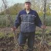 Клонові підщепи для груші, способи вирощування, сорти