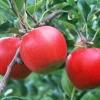 Коли і в яких кількостях треба вносити добрива для яблуні
