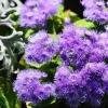 Коли садити насіння агератума, щоб вчасно оформити квітник?