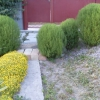 Кохия-елемент садового дизайну