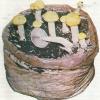 Кільцевик - їстівний гриб, вирощування, блюда з кільцевиків