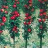 Колонновидні яблуні: новітні сорти, поезія, приокское