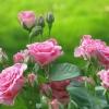 Комплексні добрива для троянд - гарантія зростання і цвітіння
