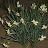Годування нарцисів для рясного цвітіння