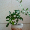 Примула росте на городі, чи потрібно її пересаджувати в горщик і прибирати на зиму?