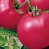 Гарний і урожайний томат «третьяковська»: характеристика, опис і фото