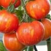 Гарний і стійкий гібридний сорт томата «товстий боцман» - опис і рекомендації по вирощуванню