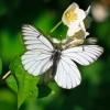 Гарний ворог вашого городу: метелик капустница