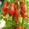 Червоний, перцевідние томат «московська грушовка» - опис, вирощування, застосування
