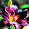 Красоднев, або лилейник, один з кращих квітів для саду