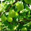Агрус: збір ягід і домашнє консервування