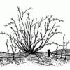 Агрус: як правильно висаджувати, доглядати і лікувати