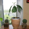 Хто небудь садив кісточку авокадо? Що виросло?