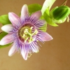 Пассифлора що за квітка