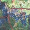 Культурний амурський виноград, його чудові якості